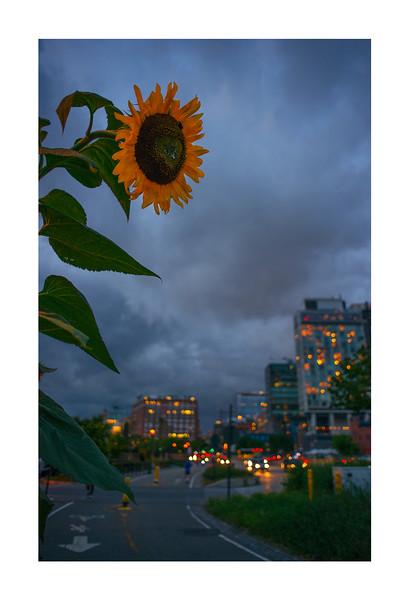 The Standard Sunflower