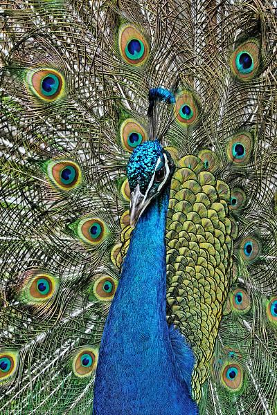 Prinknash Peacock Topaz A5 V Sp 4 x 6 300 dpi 3174.jpg