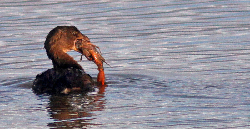 Grebe with Crawfish Lunch