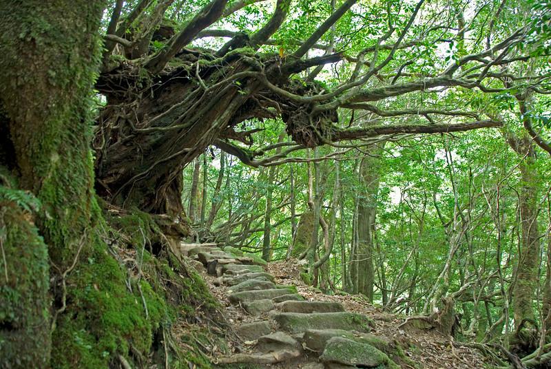 Moss covered trees along a path in Shiratani Unsuikyo in Yakushima, Japan