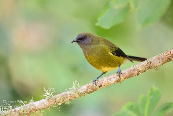 Bellbird (NZ)