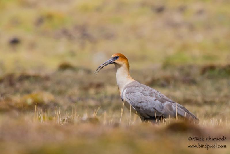 Buff-necked Ibis - Record - Highlands above Ollantaytambo, Peru
