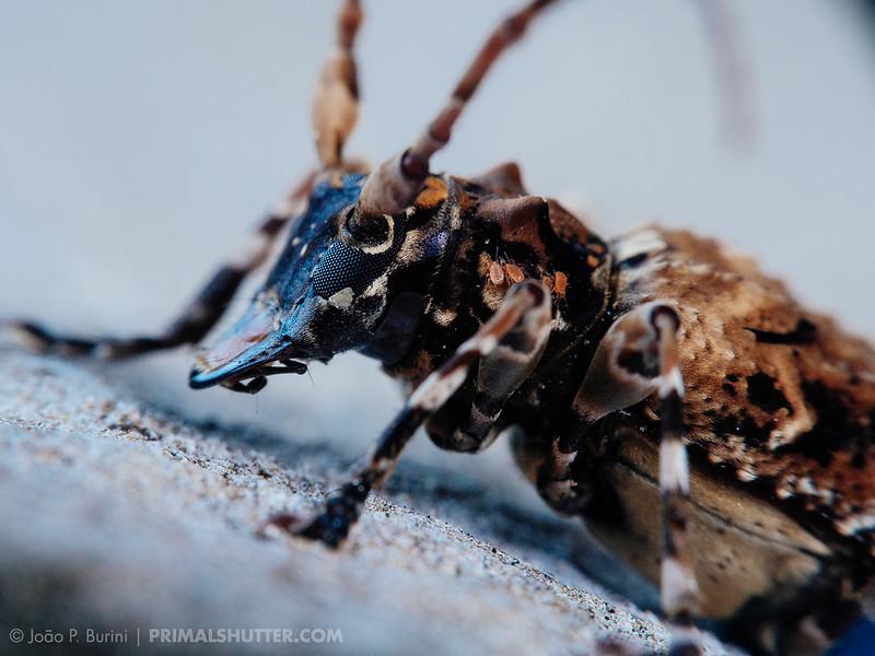 Longhorn beetle (Cerambycid) with visible mites
