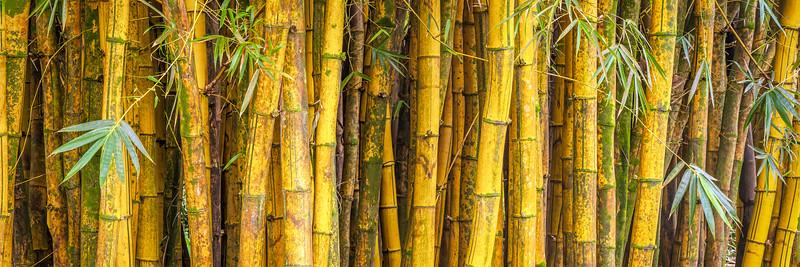 Yellow Bamboo Forest, Study 2 (Panoramic), Maui, Hawaii
