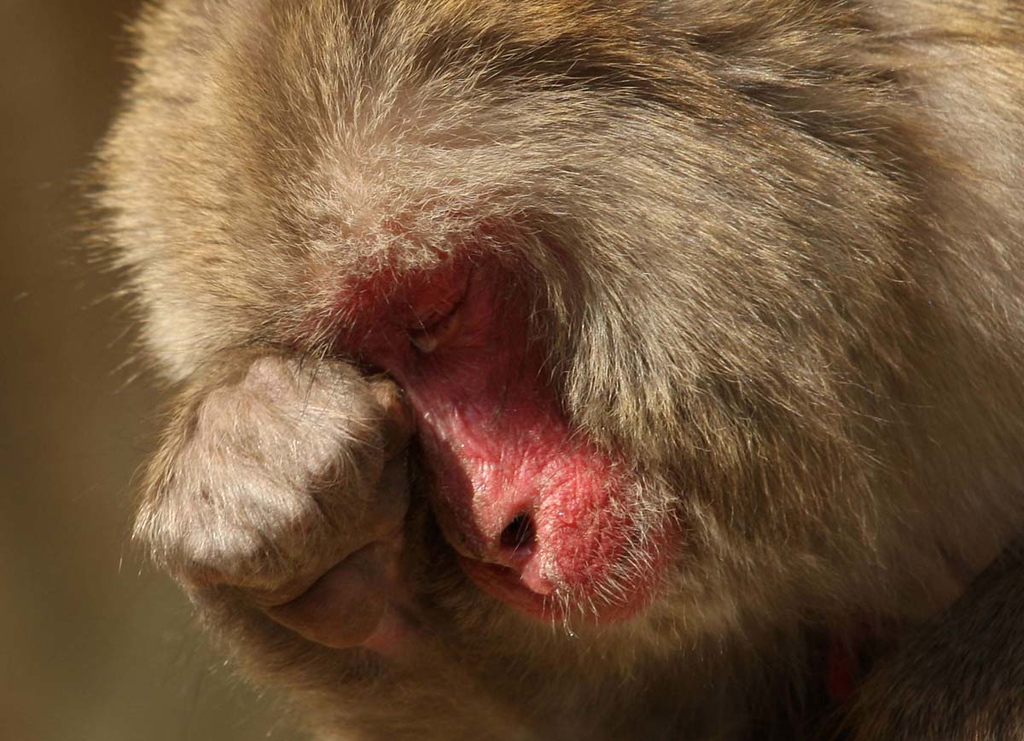 . A Japanese macaque suffers from hay fever, the result of her cedar pollen allergy, at Awajishima Monkey Centre in Sumoto, Hyogo, Japan. (Buddhika Weerasinghe)