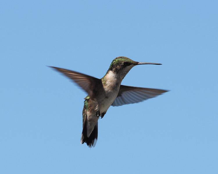 Ruby-throated Hummingbird ♀︎