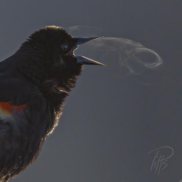 sm blackbird_M4D9057.jpg