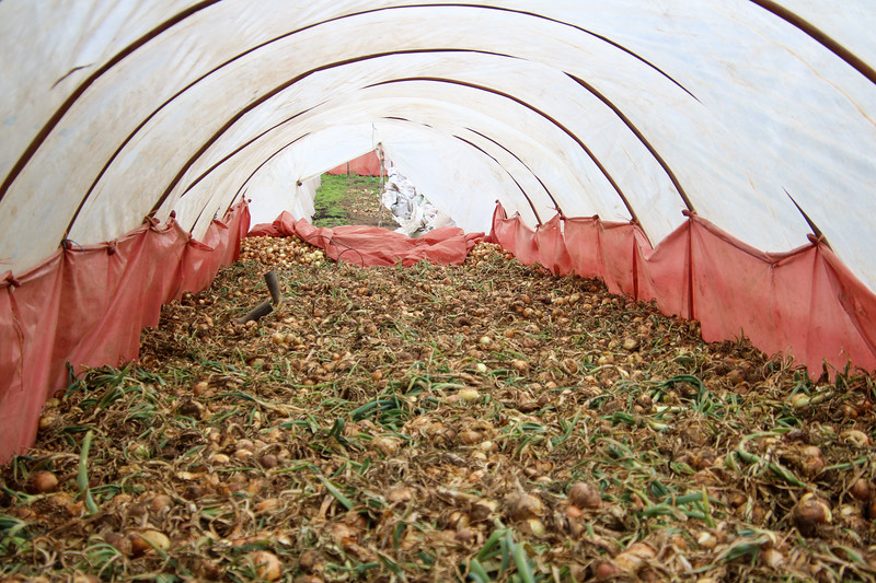 Greenhouse with onions drying