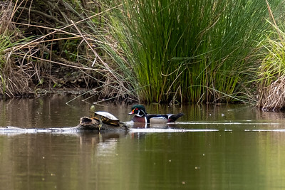 Other Water Fowl