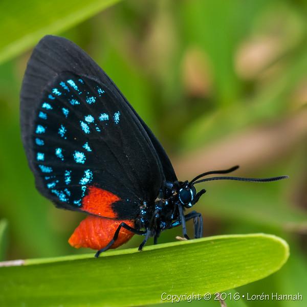 December 2016 - Atala Butterflies from Green Cay Wetlands - Boynton Beach, FL