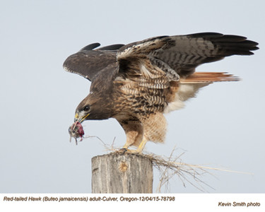 Red-Tailed Hawk A78798.jpg