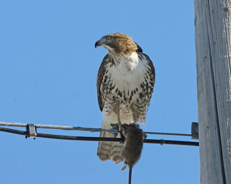 Red tailed hawk FB 4.jpg