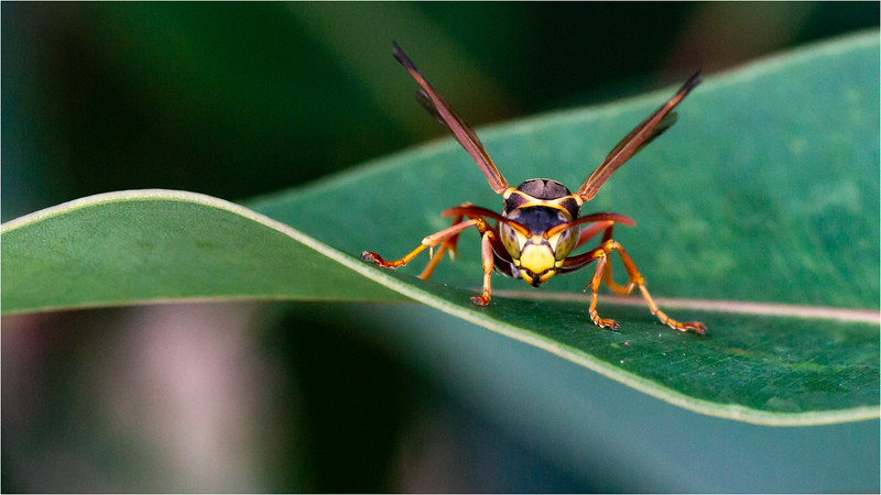 Paper Wasp 01
