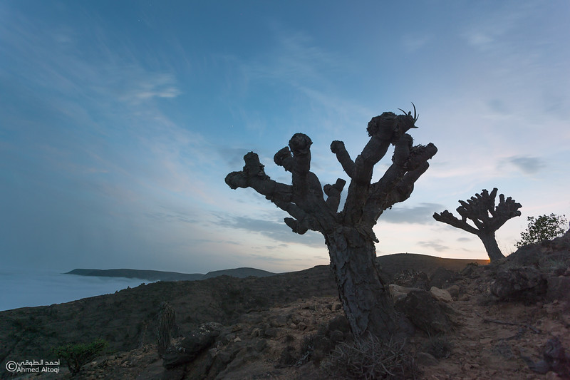 dragon blood tree - Dhofar.jpg
