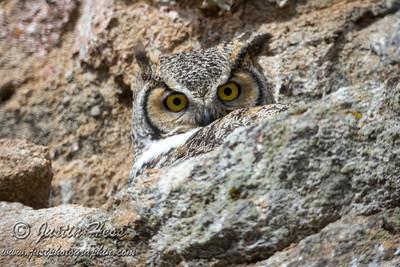 Great Horned Owl 03-20-2017