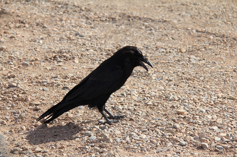 20180715-024 - Canyonlands NP - Raven at Mesa Arch Trailhead.JPG