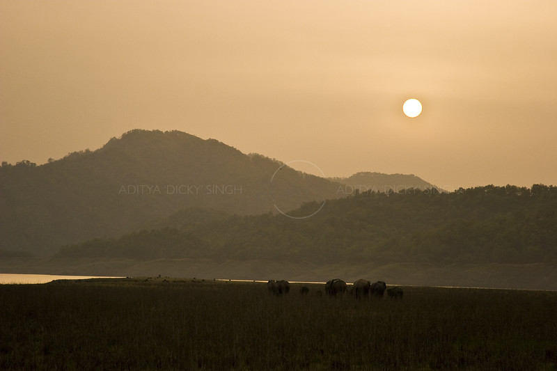 Elephant herd in grasslands or chaurs of Corbett National Park at sunset