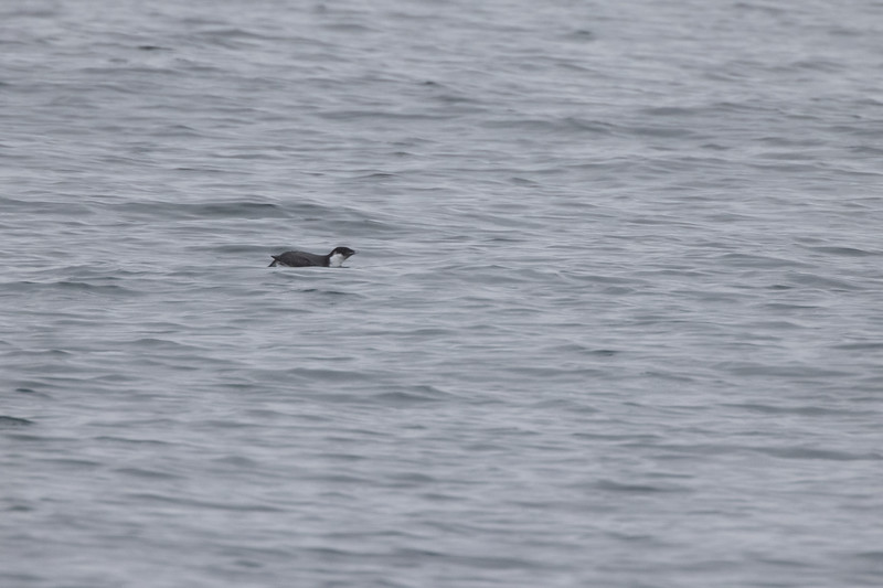 Ancient Murrelet off Stoney Point Lake Superior Lake County St. Louis County MN  IMGC7930.jpg
