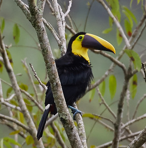 Yellow-throated (Chestnut-mandibled) Toucan