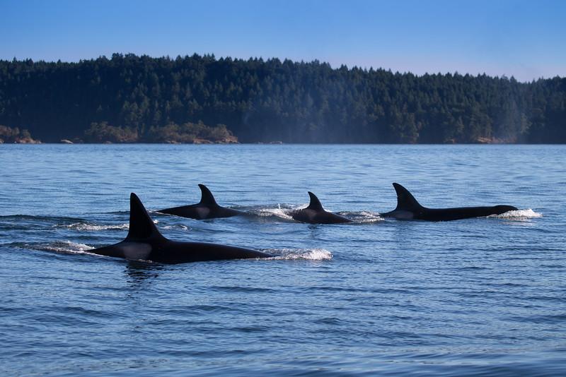 Orcas -  073115-627.jpg