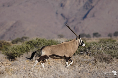 Oryx on the run