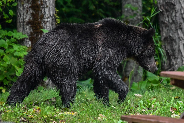 9-20-17 Bella Coola - Single Young Grizzly - Camp Ground - Bandita