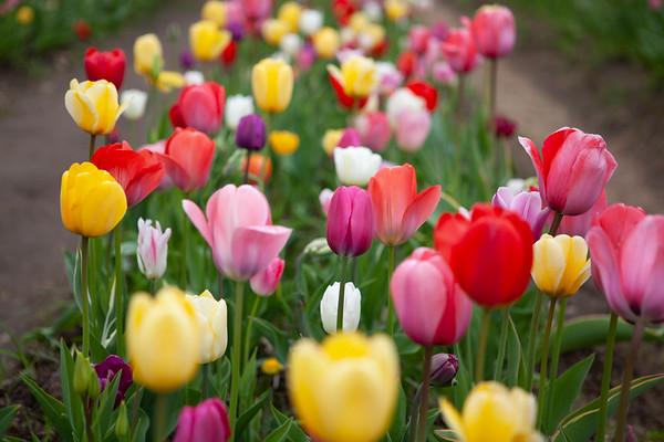 Wicked Tulips - Rhode Island