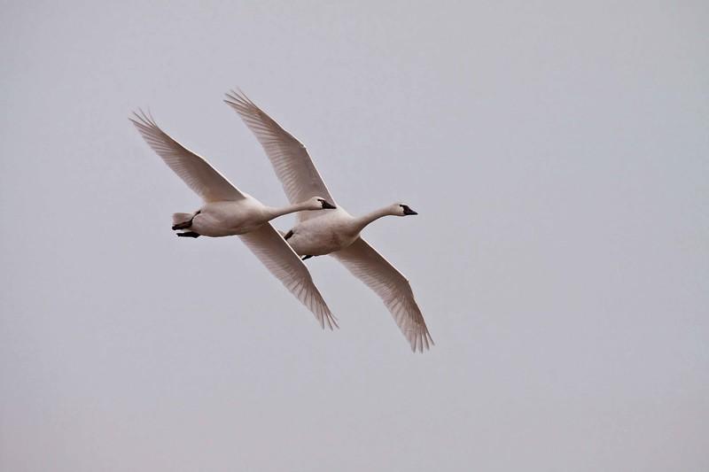swan aylmer 2011-4.jpg