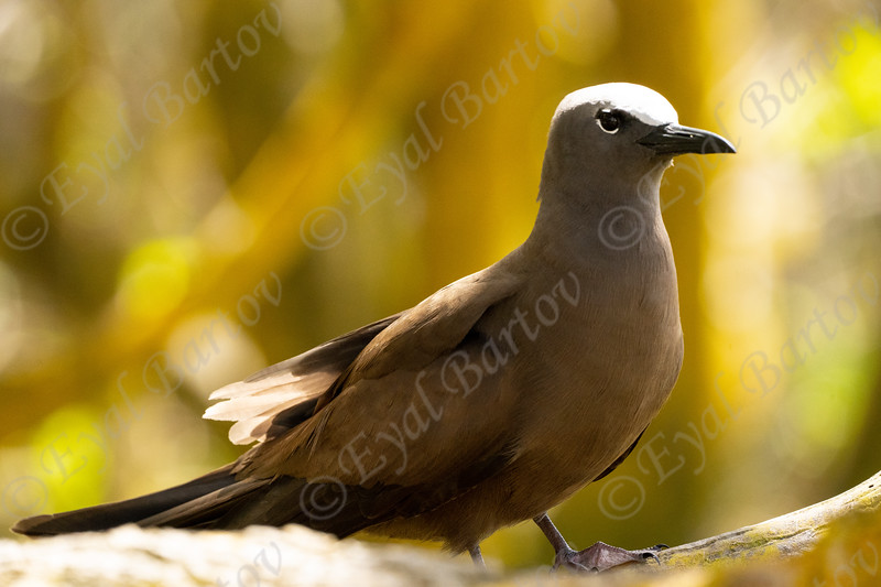 Common (brown) noddy tern (Anous stolidus). Seychelles  2.jpg