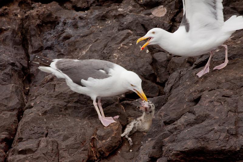 Western Gull  Los Coronados Islands 2010 06 16-13.CR2