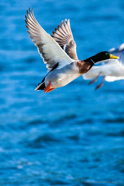 Woodget-120303-071--duck - waterfowl.jpg