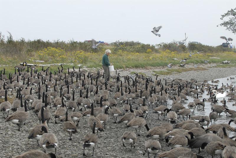 070903 8302 Canada - Victoria - Fort Rodd Hill and Canada geese _F _E ~E ~L.JPG