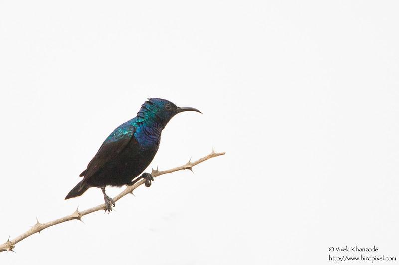Purple Sunbird - Kutch, Gujrat, India