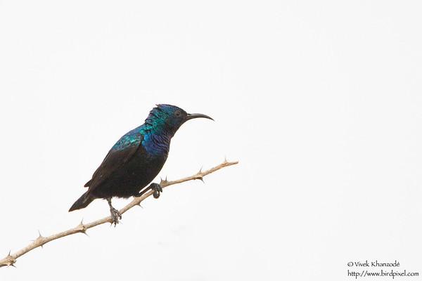 Purple Sunbird