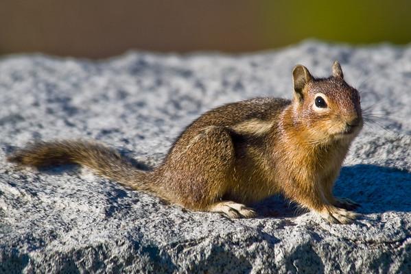 Chipmunks and Squirrels