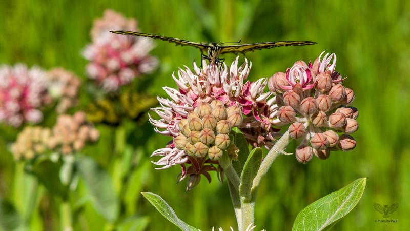 Roxy Butterfly 0060 16x9.jpg