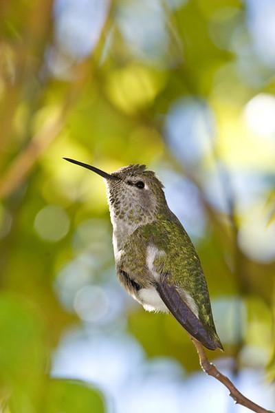 Hummingbird_20081228_27.jpg
