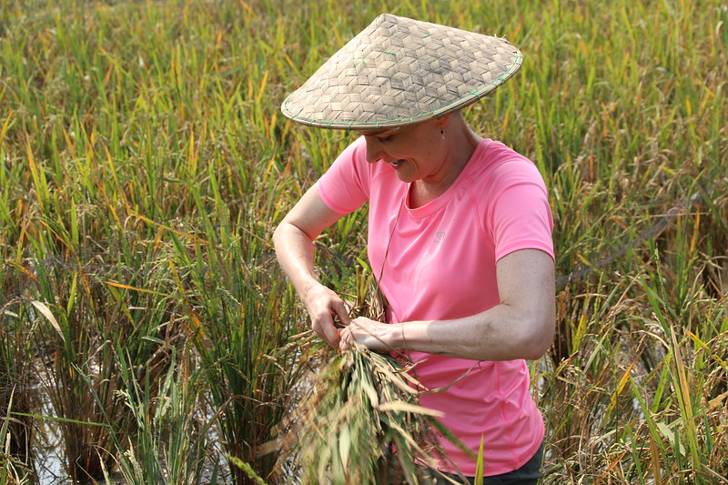 Bundling up the rice to dry out