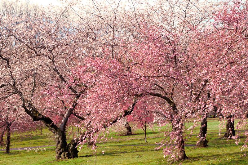 April 13_BranchBrookCherryBlossoms_7697.jpg