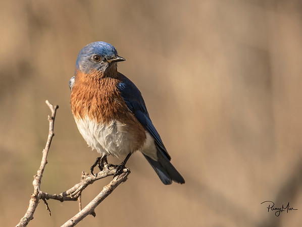 Eastern Blue Bird.jpg