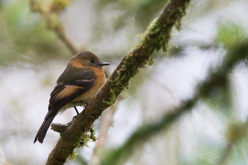 Cinnamon Flycatcher - San Isidro Lodge, Ecuador