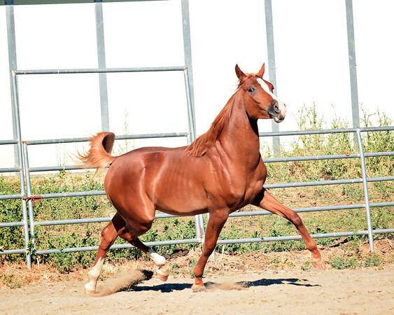 Golden Oak Arabians & Warmbloods