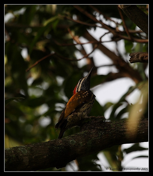 Black-rumped Flameback Woodpecker, Our Garden, Amruthur, Karnataka, India, June 2009