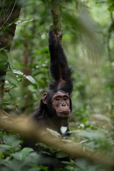 Uganda_T_Chimps-737.jpg