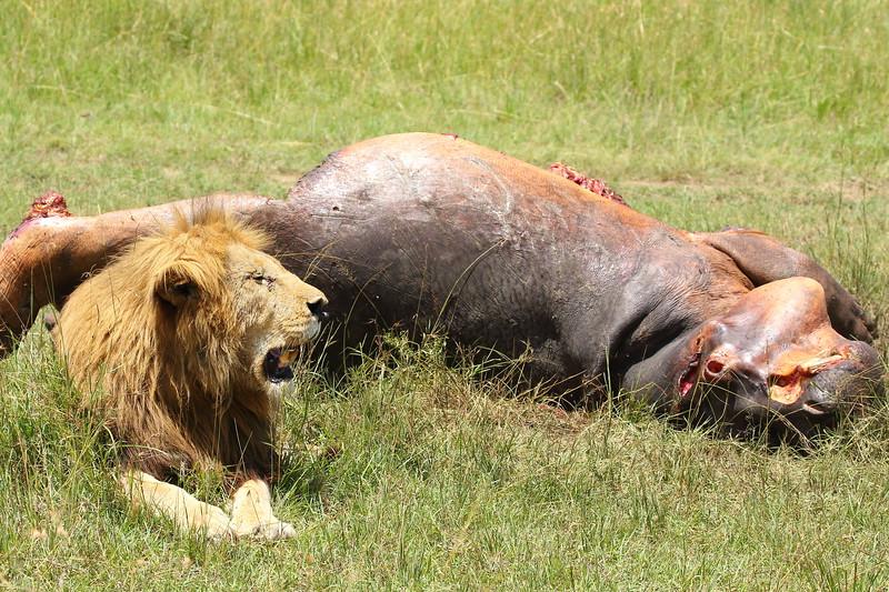 Lion Kill.JPG