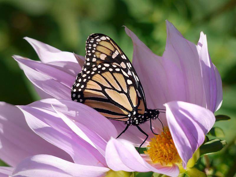 monarch on tree Dahlia sally Phillips.jpg
