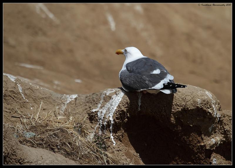 Western Gull at nest, La Jolla Cove, San Diego County, California, May 2010