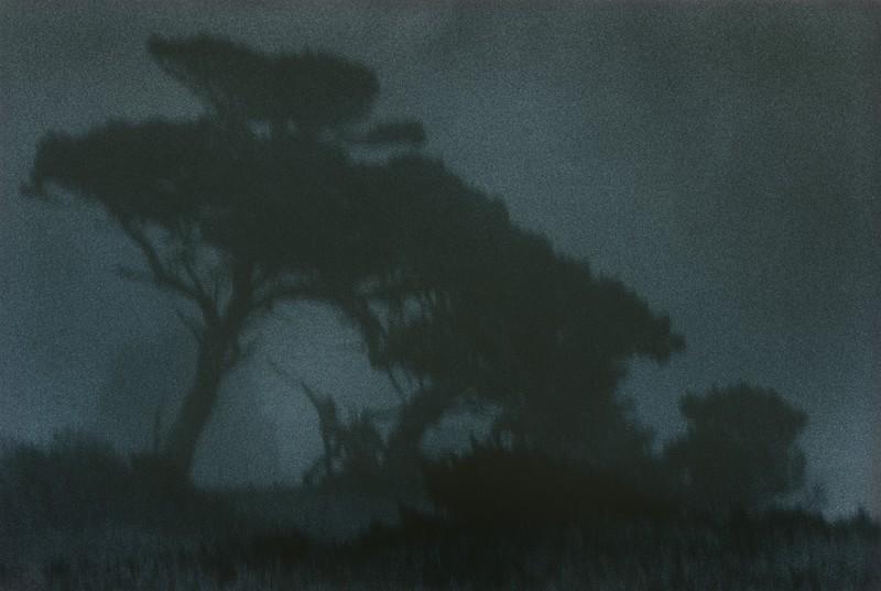 Blue Cypress, Stewarts Point, California