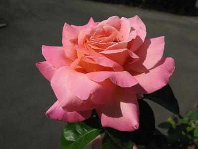 2007 02 04 Roses - G7