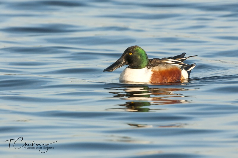 Northern SHoveler Drake Four-1550453690506.jpg
